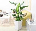 【送料無料】南国のやさしさ伝わるオーガスタ 9号 寄せ植え+ホワイトロング陶器鉢
