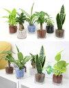ネオコール植えミニ観葉植物(ガラス容器)3鉢セット【種類も色もよりどり選べる福袋Aセット】 「ハイドロカルチャー」