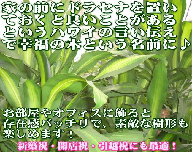 【送料無料】幸福の木 10号 朴タイプ 単品 ...の紹介画像2