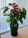 アンスリウム(アンスリューム)赤10号鉢(尺鉢)四季咲きで花持ちが良く涼しげでギフトとして大変喜ばれている人気商品です。大変大きく高さもありお部屋のインテリアとして置いて頂くと一段と華やかになります。開店祝い、新築祝いなどにもおすすめです。【smtb-s】
