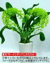 グラマトフィラム スクリプタム ハート仕立て 7号鉢 かわいい小さな黄緑色の100輪程の花が1ヶ月以上咲き続けます。花の形はデンファレ..