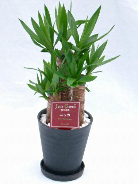 ユッカ・エレファンティペス 2鉢セット (ブラック・ホワイトの6号(6寸鉢)2色セット) 青年の木と呼ばれるワイルドで力強い雰囲気が魅力の観葉植物【smtb-s】 ★[送料無料]心癒されるグリーンで落ち着いたお部屋を演出します★