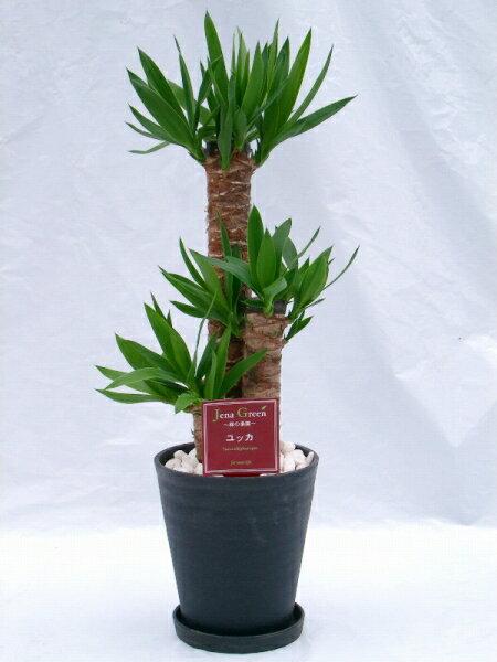 ユッカ・エレファンティペス 2鉢セット (ブラック・ホワイトの7号(7寸鉢)2色セット) 青年の木と呼ばれるワイルドで力強い雰囲気が魅力の観葉植物【smtb-s】 ★[送料無料]心癒されるグリーンで落ち着いたお部屋を演出します★