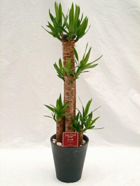 ユッカ・エレファンティペス 8号(8寸鉢) 青年の木と呼ばれるワイルドで力強い雰囲気が魅力の観葉植物 初めての方にもオススメのインテリアグリーンです。【smtb-s】 ★[送料無料]心癒されるグリーンで落ち着いたお部屋を演出します★