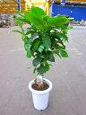 コーヒーの木 7号鉢(7寸鉢) 深い緑色のツヤツヤした葉っぱが特徴の美しい観葉植物です。きれいな緑が