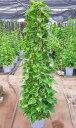 ポトス 観葉植物 10号鉢 送料無料 インテリアグリーンとして親しまれています。空気清浄効果もありインテリアに最適です。オウゴンカズラ インテリア 贈り物 ギフト 母の日 誕生日 記念日 開店祝い 鉢【smtb-s】【05P01Mar15】