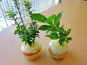 ハイドロカルチャー観葉植物 バブ8(2個セット)かわいいデザインの丸型の鉢にペットボトルが原料のカラーサンドを使用し、きれいでかわいい砂模様をデザインしました♪
