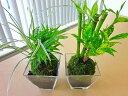選べる観葉植物 こけ玉 スクエア鉢 2個セット 和風なこけ玉に炭を敷き、スタイリッシュなスクエア鉢で仕上げました。まるい形のコケ玉に癒されます♪【fsp2124-6f】
