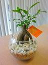 ハイドロカルチャー観葉植物 ガジュマル バブ10(マゼペット)石のせ 人気の水耕栽培です。ペットボトルが原料のカラフルなカラーサンドとオシャレな石がきれいなグリーンを引き立てます。お部屋のインテリアにどうぞ♪