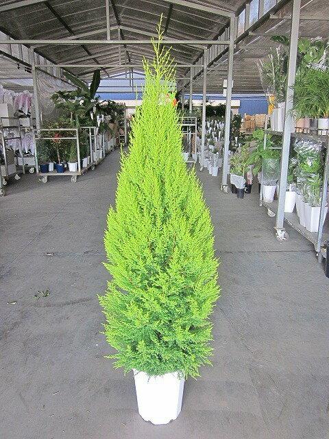 ゴールドクレスト・ウィルマ(10号)もみの木の代わりとして、クリスマスシーズンに大人気の観葉植物です。かわいいオーナメントを付けて、クリスマスツリーを楽しみませんか。【smtb-s】 ゴールドクレスト★[送料無料]冬の定番はツリーに最適です★