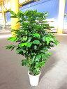 コーヒーの木 10号 深い緑色のツヤツヤした葉っぱが特徴の美しい観葉植物です。きれいな緑がインテリア