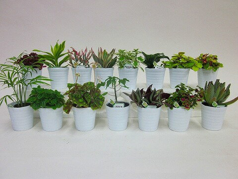 産地直送ミニ観葉(ミニ観葉植物セット)1ケース(お得な15鉢入り)とってもかわいいミニサイズの観葉植