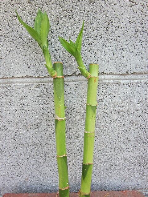 水耕栽培苗バンブー(ミドル)2本セット水耕栽培ハイドロカルチャー室内園芸苗木苗観葉植物インテリアミニ