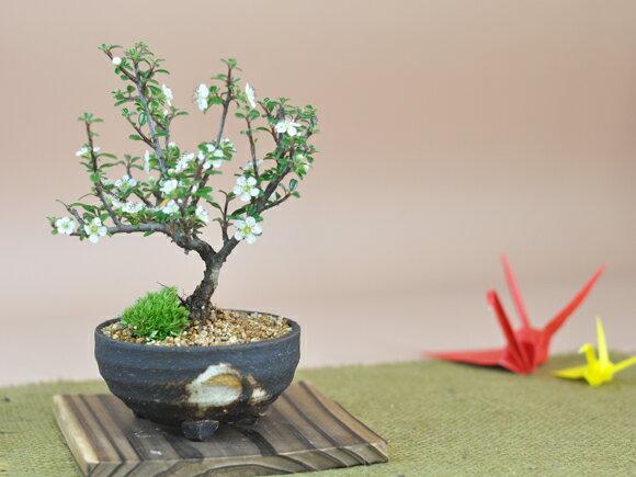 白紫檀(しろしたん)の盆栽の紹介画像2