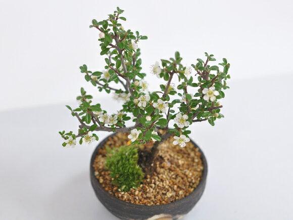 白紫檀(しろしたん)の盆栽の紹介画像3