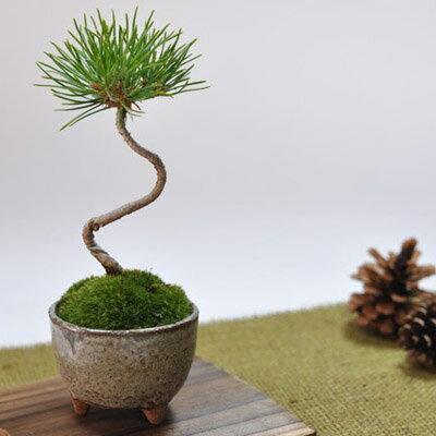 くろまつミニミニ鉢【ミニ盆栽 松 かわいい盆栽 くろまつミニミニ鉢 癒されるミニ植物 ギフ…...:bonsai-myo:10001132
