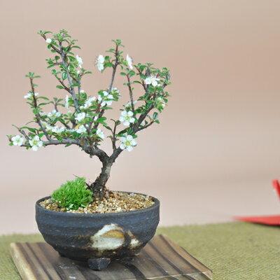 白紫檀(しろしたん)の盆栽