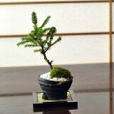 モコモコとした短い葉が特徴的なエゾ松 北海道産の松盆栽 【盆栽】