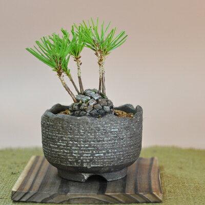 松ぼっくりの盆栽【ミニ盆栽 テーブルプランツ 松ぼっくりの盆栽 かわいい植物 bonsai…...:bonsai-myo:10001427