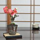 紅白長寿梅 日月星 花盆栽 鉢植え 咲き分け ギフト 贈り物 おしゃれ モダン インテリア 鉢花 和盆栽