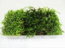 RoomClip商品情報 - 苔玉 苔盆栽 テラリウム の 苔 こけ 3種セット コツボゴケ シノブゴケ ハイゴケ 1パック テラリウム 用 【 あす楽 】