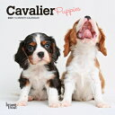 Cavalier King Charles Spaniel Puppies 2021 Mini 7x7 CAVALIER KING CHARLES SPANIEL [ Browntrout ]