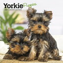 Yorkshire Terrier Puppies 2021 Mini 7x7 YORKSHIRE TERRIER PUPPIES 2021 [ Browntrout ]
