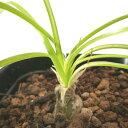 「球根植物」アルブカ・フミリス Albuca humilis