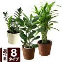 選べる8種類♪観葉植物6号