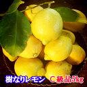 瀬戸田産 樹なりレモン(化学農薬不使用栽培)C級品 5キロ【送料無料】【檸檬】国産レモン