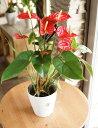 【送料無料】 誕生日 アンスリウム赤 5号鉢 お祝い 開店祝い【観葉植物】アンスリューム ギフト 贈り物 プレゼント お祝い