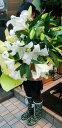 【本数三本15輪以上】カサブランカの3本の花束 ユリ【送料無料】【フラワーギフト】【母の日】ギフト 花