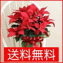 ポインセチア クリスマス 赤 5号鉢 送料無料 お歳暮 ポインセチア ポインセチア 赤 ギフトにぴったり!