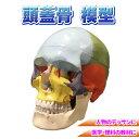 【エントリーでポイント10倍】頭蓋骨 模型 勉強 医学 理科 人物デッサン
