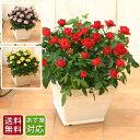 <専門店のバラの鉢植え>あす楽12時まで受付中 花色が選べる...