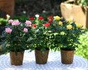 自然にやさしいミニ薔薇3鉢セット♪【送料無料】【楽ギフ_メッセ入力】