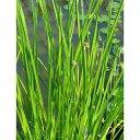 (ビオトープ/水辺植物)カンガレイ(水上葉)(1ポット分)...
