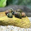 (エビ・貝)カラー石巻貝(4匹)