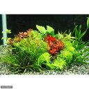 (水草 熱帯魚)小型水槽用水草10種セット(無農薬)(1パック)