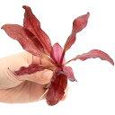 (水草)エキノドルス レッドフレーム(無農薬)(1株)