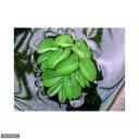 ●オオサンショウモ(3株)