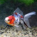 (国産金魚)キャリコ琉金(3匹)