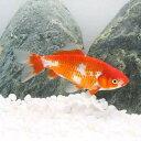 (国産金魚)更紗和金 三つ尾〜四つ尾(3匹)