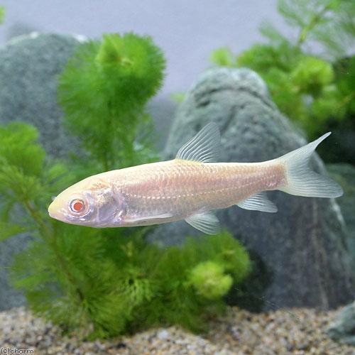 (淡水魚)アルビノ草魚(アルビノソウギョ) Sサイズ(1匹)