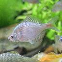 (淡水魚)タイリクバラタナゴ(30匹)