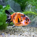 (国産金魚)江戸錦 中サイズ(1匹)