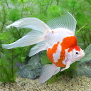 (国産金魚)一点物 越後玉サバ 金子養鯉場産(1匹)