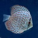 (熱帯魚)レッドダイヤモンド・ディスカス(Sサイズ)(3匹)...