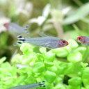 (熱帯魚)ラミーノーズ・テトラ(ブリード)(30匹) 北海道・九州・沖縄航空便要保温