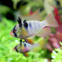 (熱帯魚)ジャーマン・ラミレジィ(東南ブリード)(5匹)